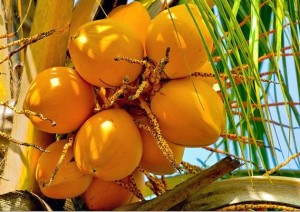 King_Coconut_Sri Lanka